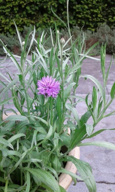 korenbloem - plantplezier - actie