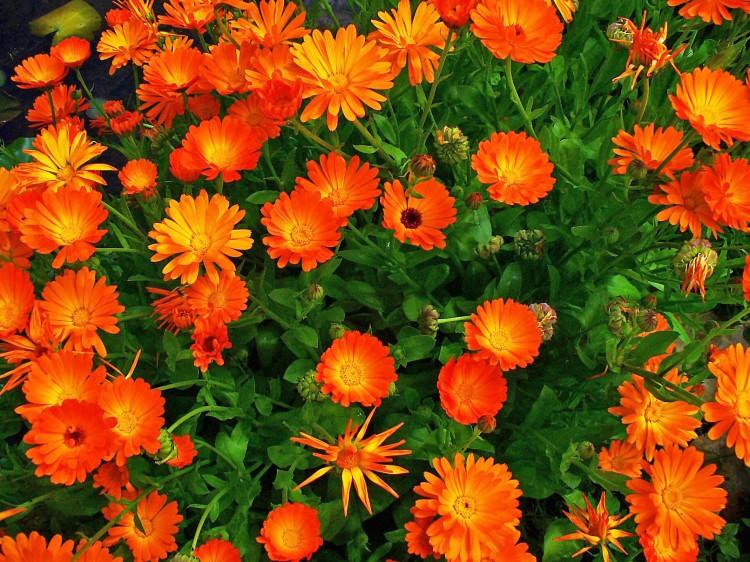 goudsbloemen - actie - plantplezier