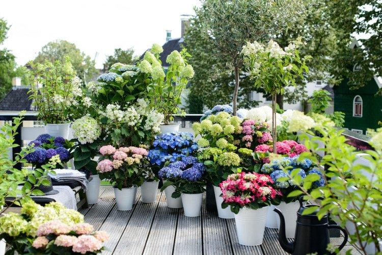 hortensia's in bakken - plantplezier - plant van de maand