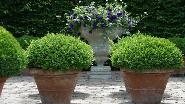 buxus - plantplezier -