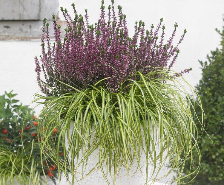 Tuinplant: Struikheide - PlantPlezier.nl