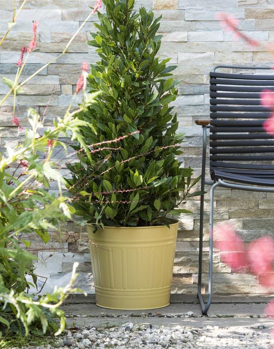 plantplezier - laurus nobilis - laurier - plant van de maand - tuinplant - oktober