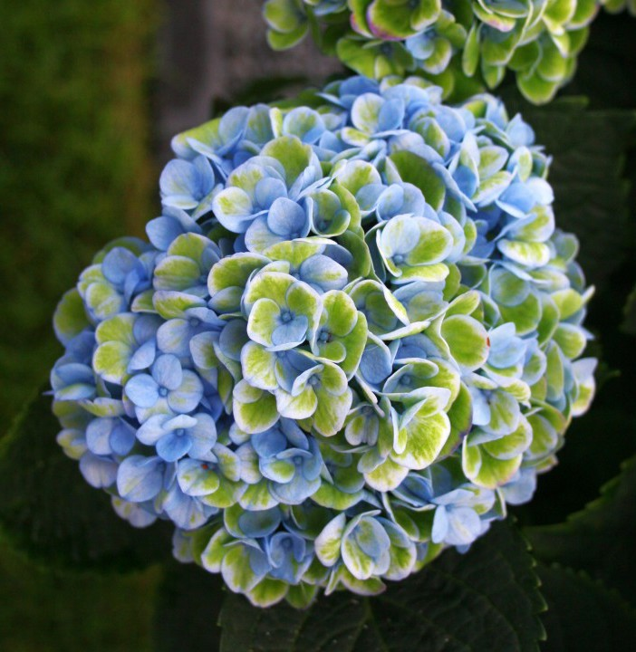 Magical Hortensia's 'blauwen' - PlantPlezier.nl