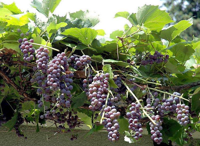 Druiven - PlantPlezier.nl
