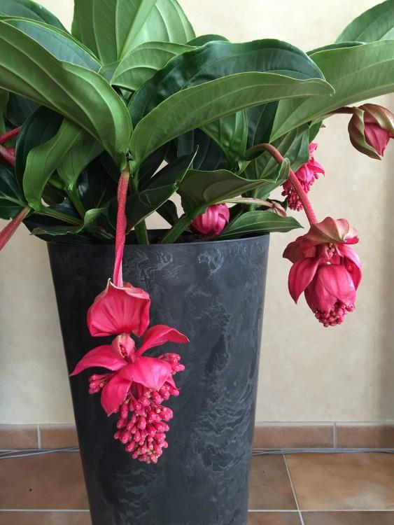 plantplezier - medinilla - rode - bakker hillegom - actie
