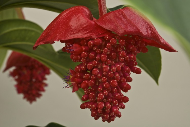 Rode Medinilla bij Bakker - PlantPlezier.nl
