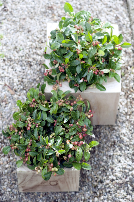 gaultheria - procumbens - bergthee - plantplezier