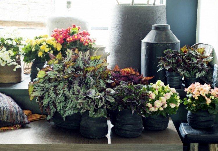 Woonplant oktober: begonia - PlantPlezier.nl