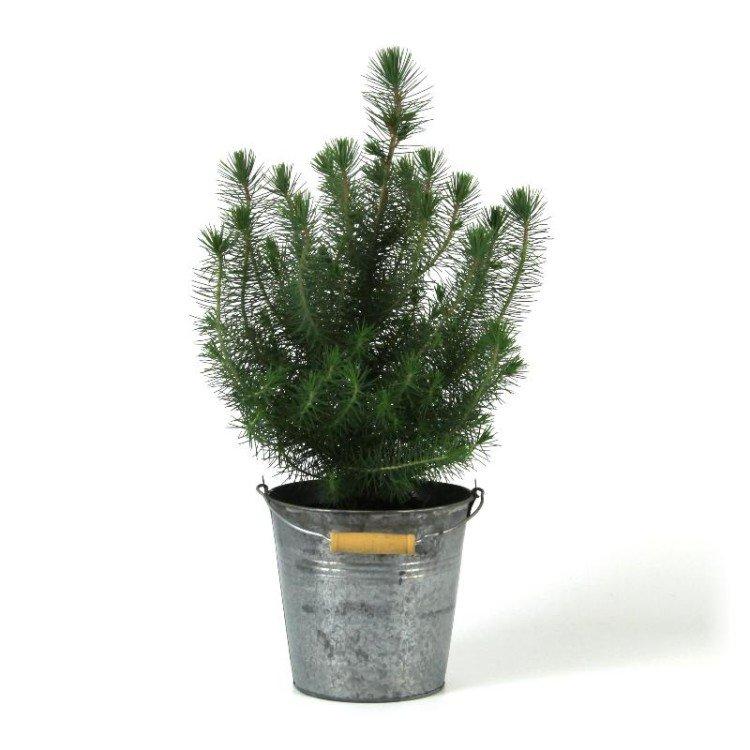 Pinus pinea 'Silver Crest' - PlantPlezier.nl