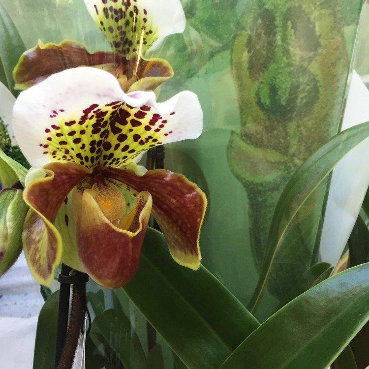 plantplezier - Paphiopedilum - ivo - actie