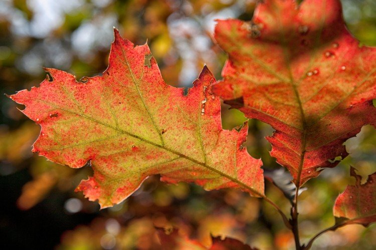 Bladverkleuring in de herfst - PlantPlezier.nl