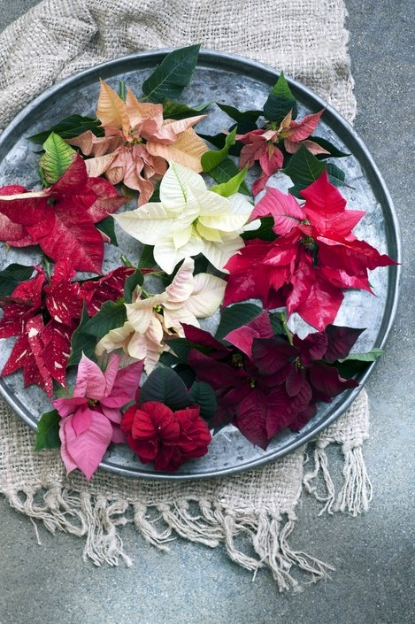 woonplant - november - kerstster - poinsettia - 2015