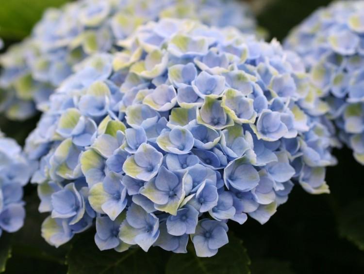 Magical Hortensia - PlantPlezier.nl