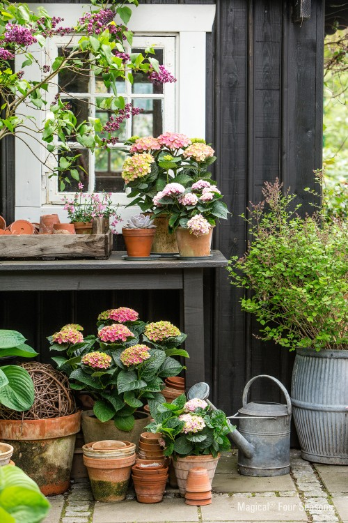 Oorsprong van Hortensia's - PlantPlezier.nl