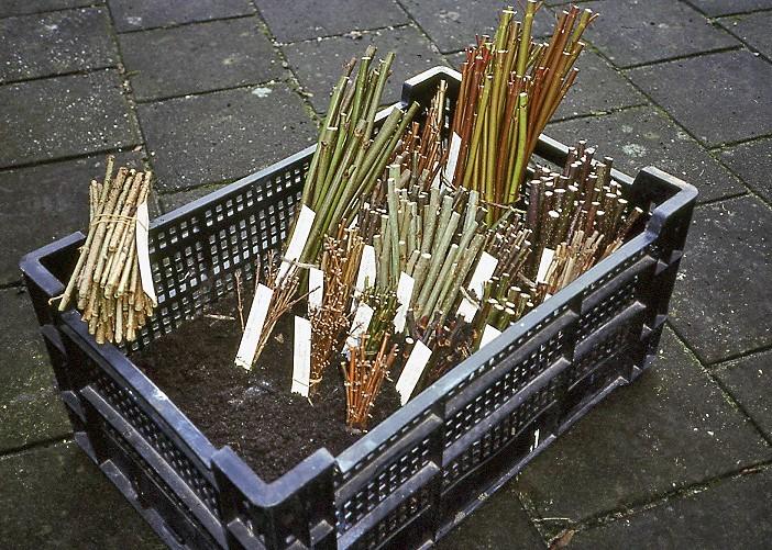 Heesters en struiken stekken in november - PlantPlezier.nl