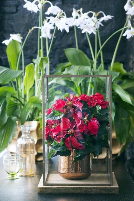 woonplant - november - kerstster - poinsettia - 2015