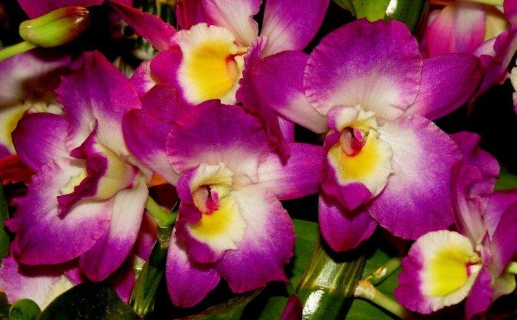 -Origineel!- Koninklijke orchidee - PlantPlezier.nl