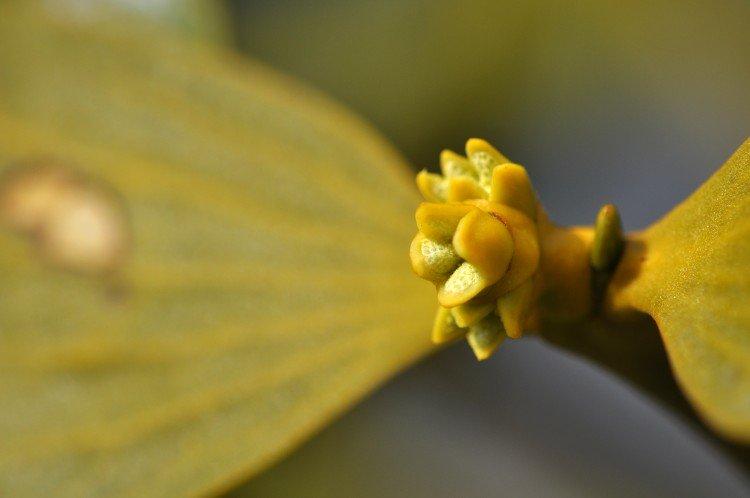 plantplezier - maretak - mistletoe - kweker - groene spotlights