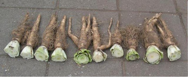 Witlof - PlantPlezier.nl