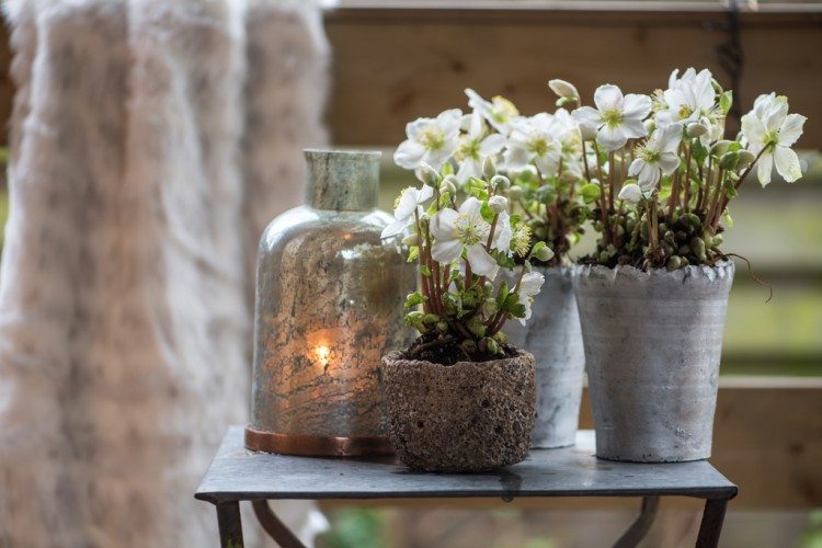 plantplezier - helleborus - plant van de maand - tuinplant - december