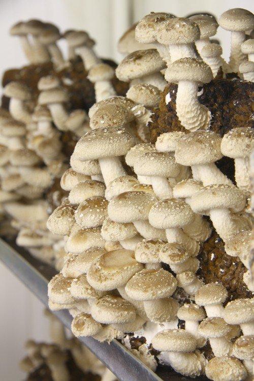 plantplezier - paddenstoelenkwekerij - paddenstoelenhuis - volle