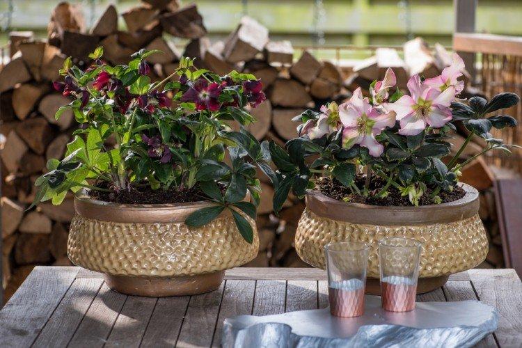 Tuinplant: Kerstroos (Helleborus) - PlantPlezier.nl
