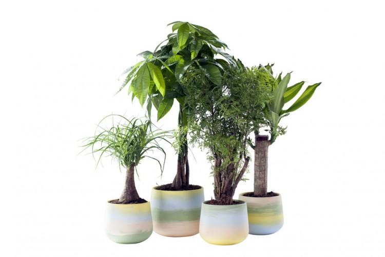 Woonplant januari: Kamerbomen - PlantPlezier.nl