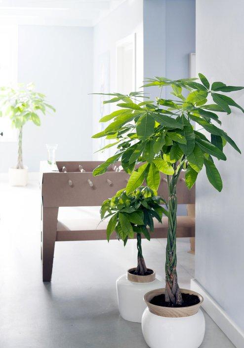Plantplezier - kamerbomen - plant van de maand - woonplant - ivo putman