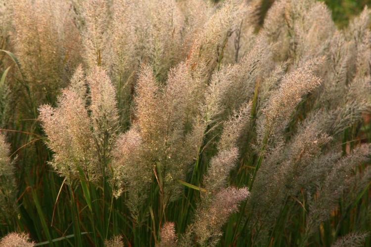 plantplezier - lianne - siergrassen - prairie - in de groene spotlights