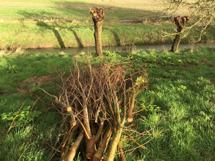 wilg - knotten - januari - tip - plantplezier