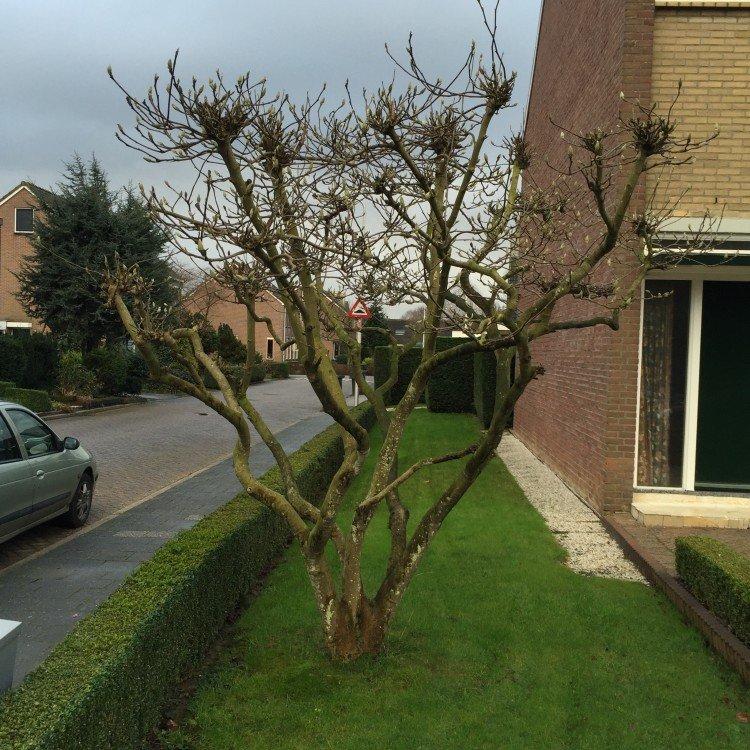 Magnolia snoeien - PlantPlezier.nl