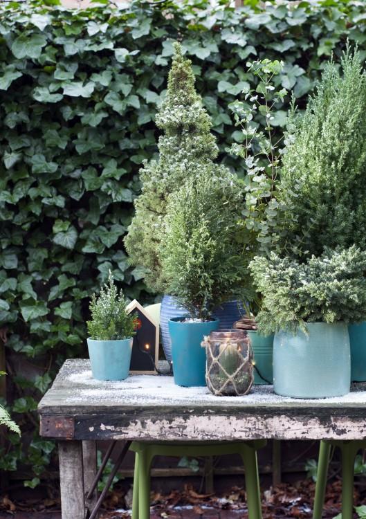 plantplezier - plant van de maand - januari - coniferen - blauwe coniferen