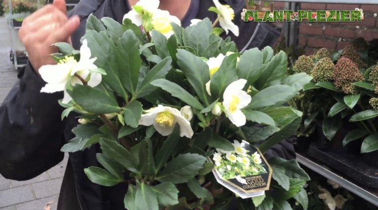 Helleborus Gold Collection - plantplezier - ivo putman