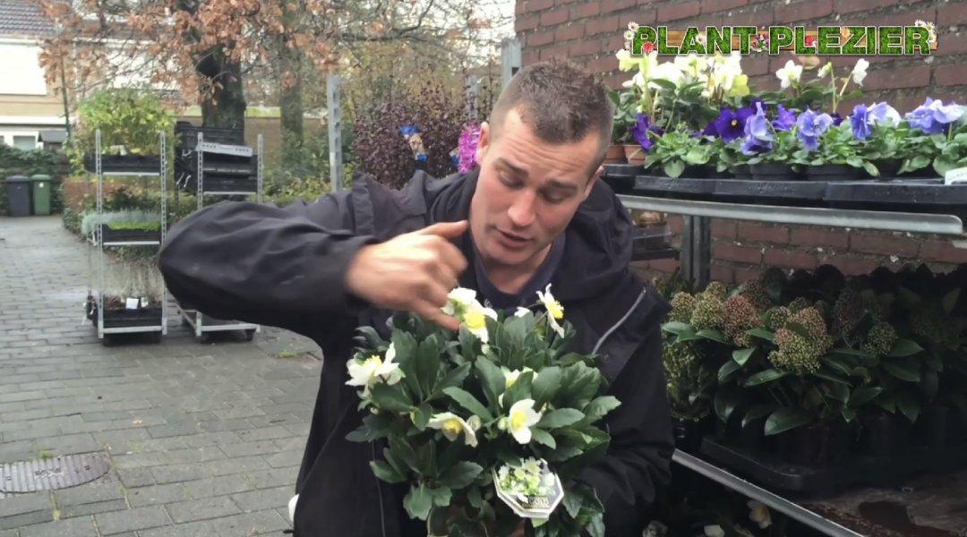 Helleborus in actie - PlantPlezier.nl