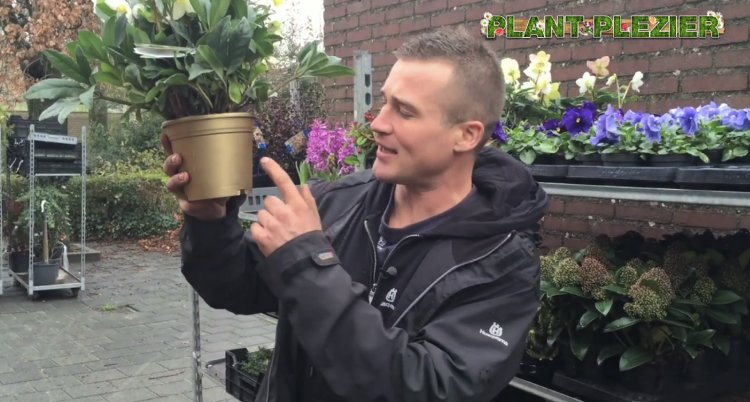 ivo - plantplezier - gold collection - helleborus
