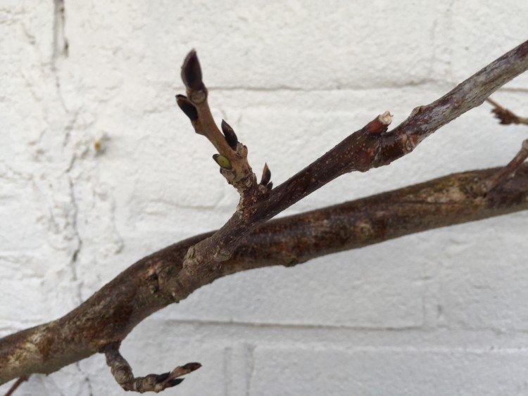 plantplezier - wisteria - snoeien - tip blauweregen