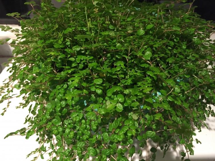 Slaapkamergeluk Plant : Mijn Slaapkamergeluk tiert te welig. Kan ik de ...