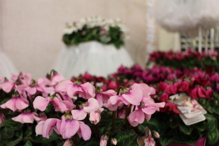 PlantPlezier - in de groene spotlights - cyclamen - super serie petticoat -