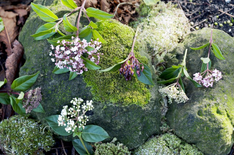 plantplezier - viburnum - plant van de maand