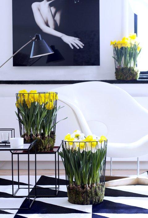 plantplezier - plant van de maand - woonplant - februari - narcis