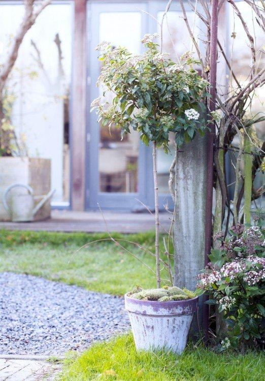 viburnium - plantplezier - plant van de maand