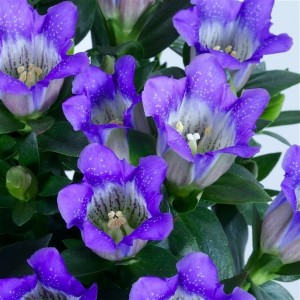 plantplezier - glazen tulp -