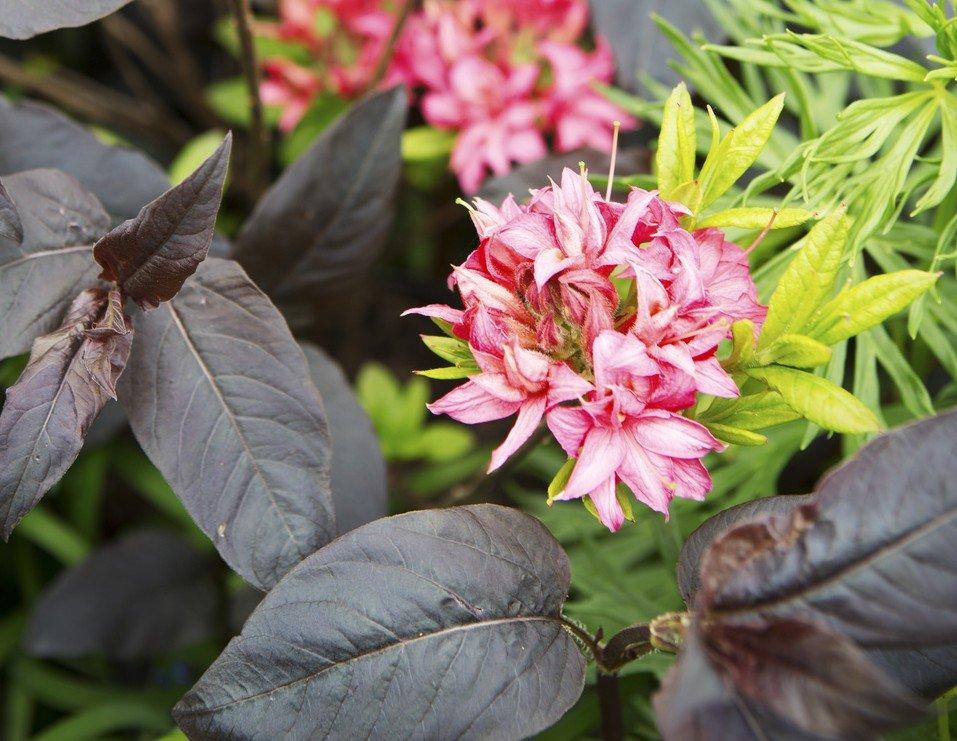 Tuinplant van de maand maart: Azalea - PlantPlezier.nl