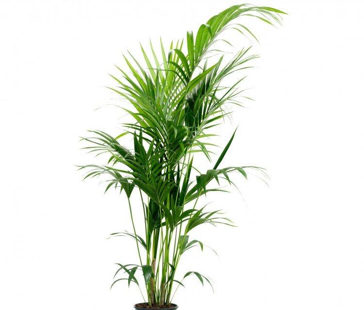 Howea palm - PlantPlezier.nl