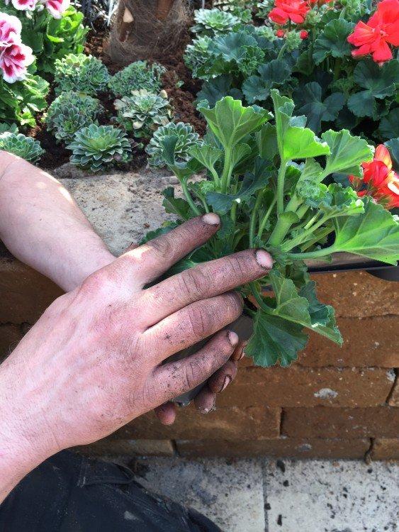 plantplezier - tuinbloeiers - geranium - ivo