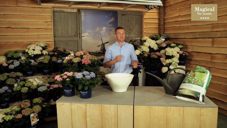 Hortensia's planten - PlantPlezier.nl