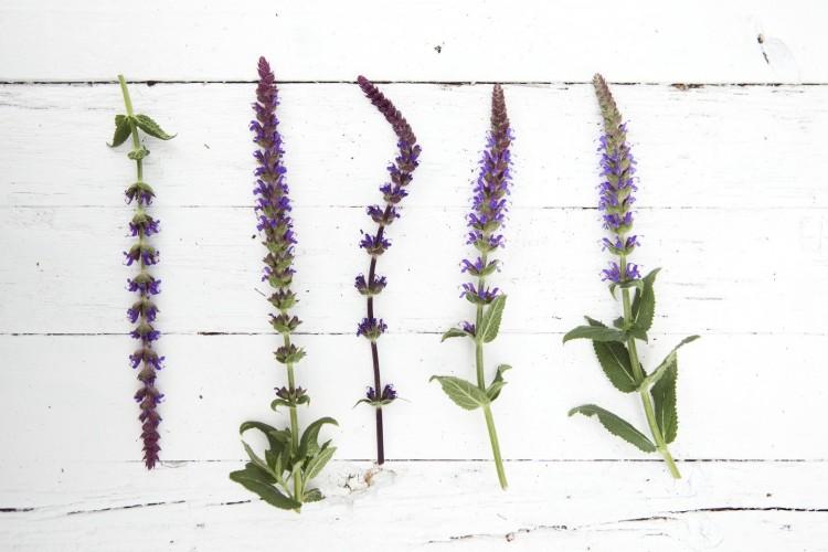 Tuinplant mei: Salie - PlantPlezier.nl