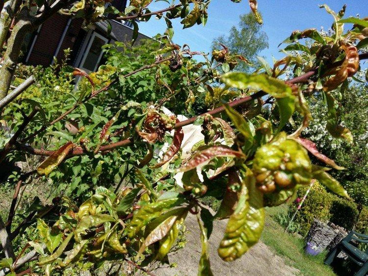Gekruld blad Perzikboom - PlantPlezier.nl