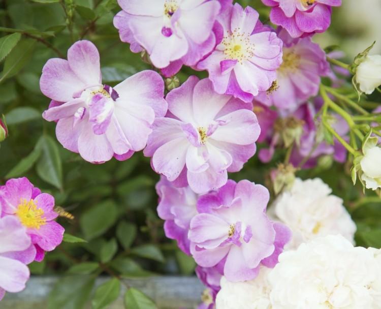 Tuinplant juni: Roos - PlantPlezier.nl