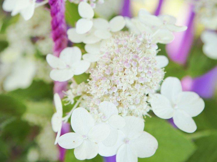 Tuinplant juli: Pluimhortensia - PlantPlezier.nl